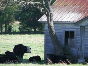 cows, photography, field, abandoned house